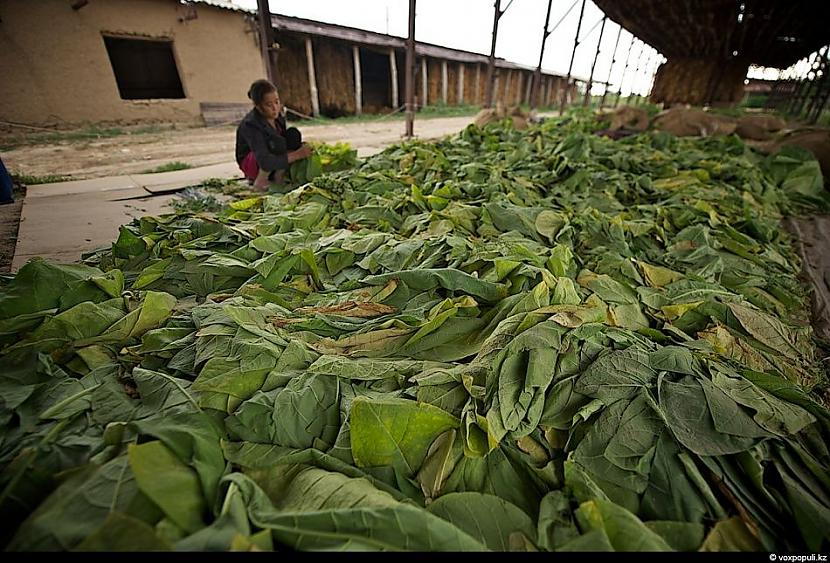 pēc tam  izlīdzinātas uz zemes... Autors: Džordžs no Džungłiem Kā izaudzē tabaku ?