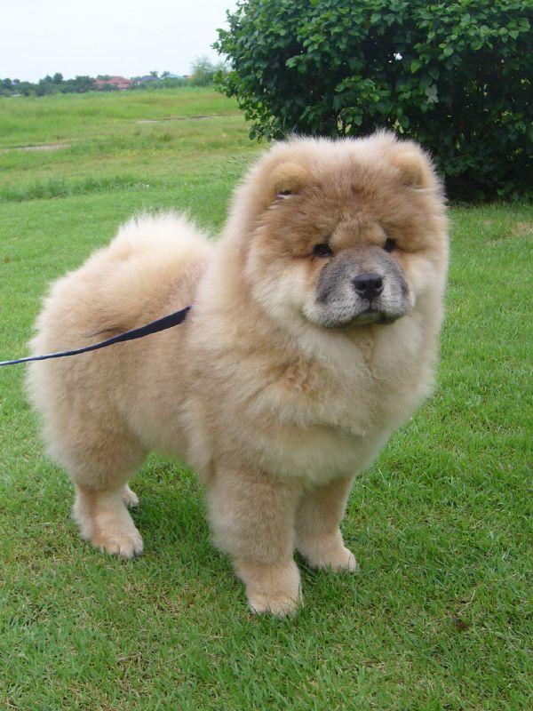 ČAUČAU  Šie suņi ir neatkarīgi... Autors: sunshinee Bīstamākie suņi pasaulē.