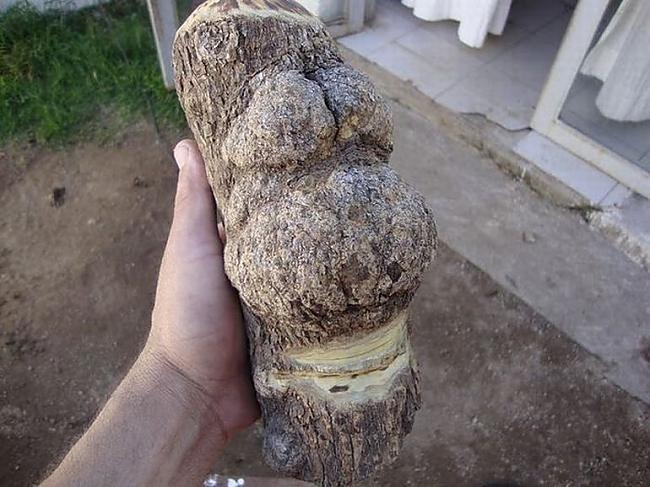Autors: ORGAZMO koka homērs