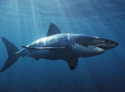 Haizivīm ir imunitāte pret... Autors: endyss49 Dažādi fakti