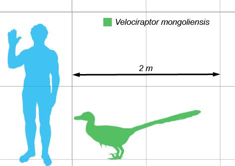 Velociraptors salīdiznājumā ar... Autors: sekers Skeletori 2