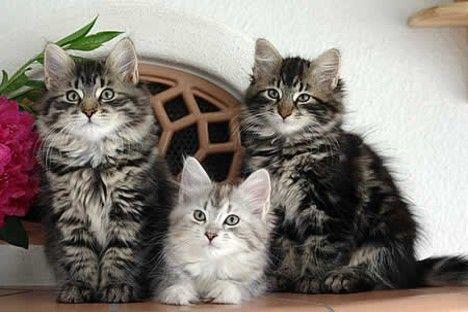 Abesīnijas kaķis Autors: Bourebro Kaķu sugas.