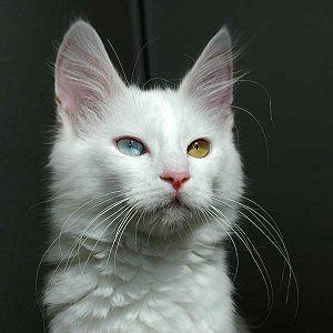 Turcijas Angoras kaķi Autors: Bourebro Kaķu sugas.