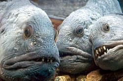 Zobainā vilkzivs Autors: wiwa20072 TOP3 pasaules neglītākās zivis!