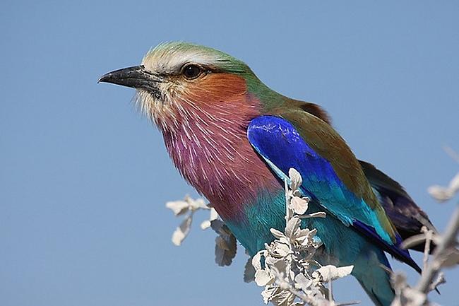 Autors: Eiropa ļoti,ļoti skaisti putniņi