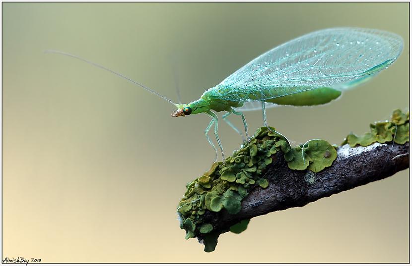 Autors: Eiropa kukaiņi (macrophotography)