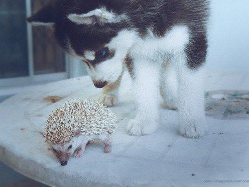 Autors: emilija12 Own a husky