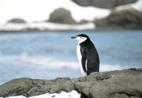 Autors: gangsteris biologija - pingvini