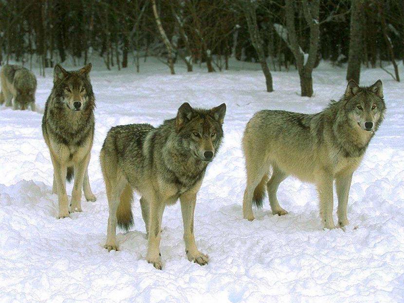 wolf Autors: Lincho Some animals=)
