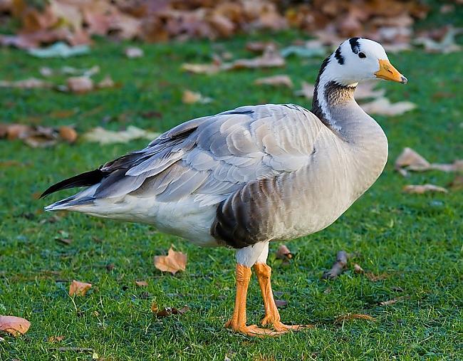 Visaugstāk lidojošais putns ... Autors: Fosilija Dzīvnieki ar neparastām spējām!