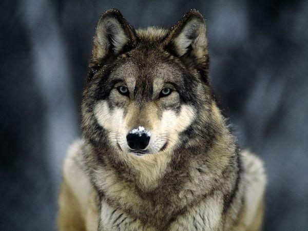vilki ir arī cēli dzīvnieki... Autors: angelus3D skaisti dzīvnieki 1 (vilki)