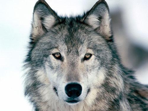 vilki dod priekšroku ēst maitu Autors: angelus3D skaisti dzīvnieki 1 (vilki)