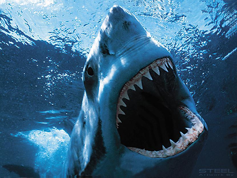 Autors: sabaa310 Haizivs puncī