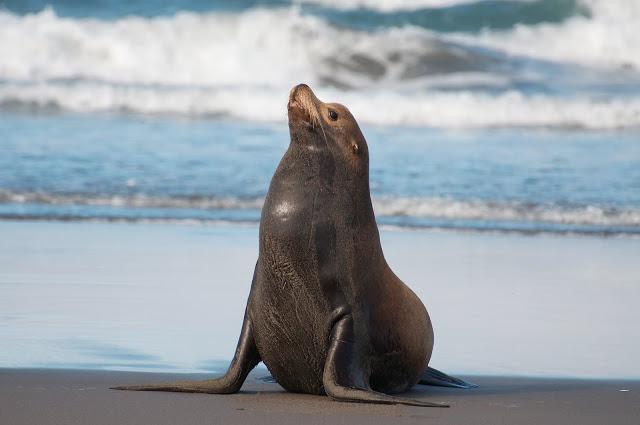 DNS pētījumos ir noskaidrots... Autors: bubina696 California Sea Lion