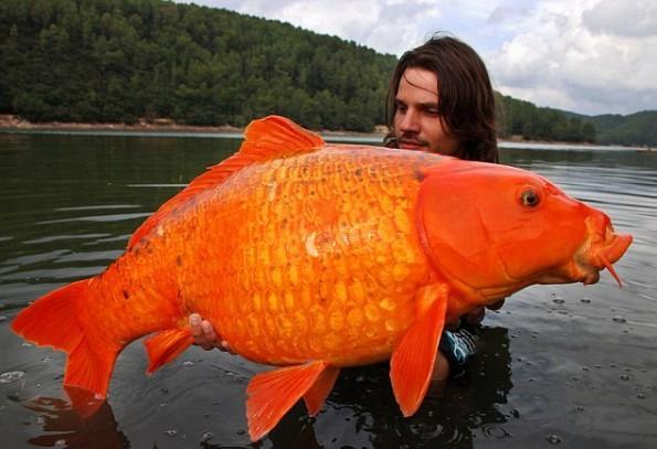 Scaronī ir lielākā Koi karpa... Autors: chupaCHUPSnr1 Interesanti pasaules rekordi...