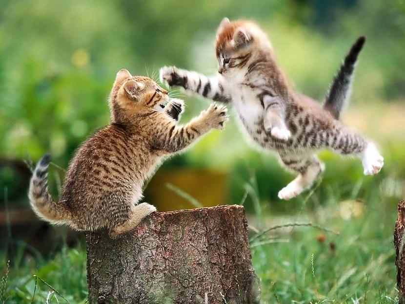Kaķi mācās karatē  Autors: gopniks2 Smieklīgie kaķi !