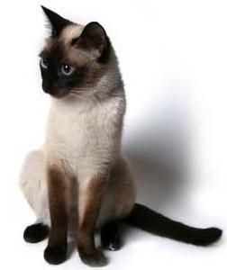 Siāmas kaķu tumscarono... Autors: Kaprālis Fakti par kaķiem