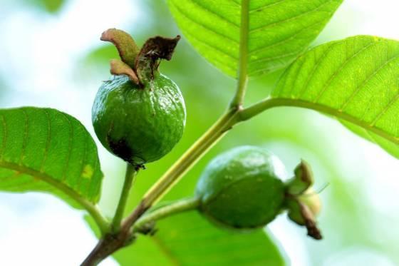 Guava No Guava augļiem tiek... Autors: Deadshot 10 interesantāki augļi uz zemes