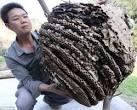 Autors: rojs227inboxlv 30 Japānas sirseņi vs. 30'000 medus bites