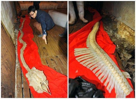 2013gada 28 martā  Ķīnas... Autors: Radiowity Ķīnas piekrastē izskalotais'jūras pūķa'skelets pieder retai haizivij