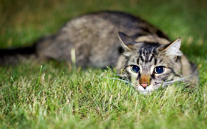 Medīscaronana kaķim nav... Autors: Fosilija Lietas ,kuras tev ir jāzin par kaķi un suni.