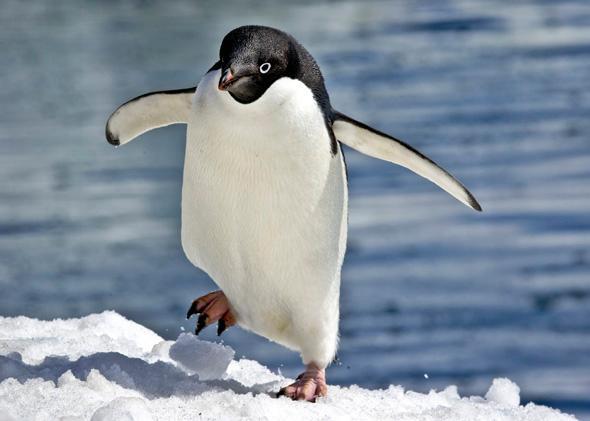 Pingvīni var palekties pusotra... Autors: ORGAZMO Fakti par...