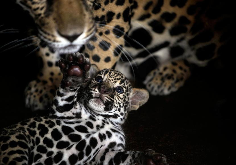 Vienu nedēļu vecs jaguāra... Autors: BodyBoard Attēli / Teksti - Dabas Pasaule