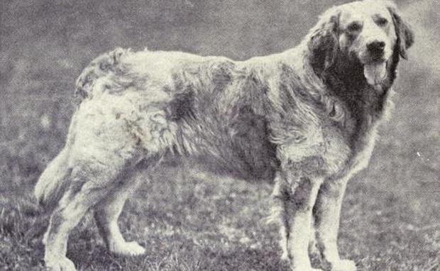 Scaronie lielie svarā līdz 45... Autors: Raziels Izmirušas suņu šķirnes