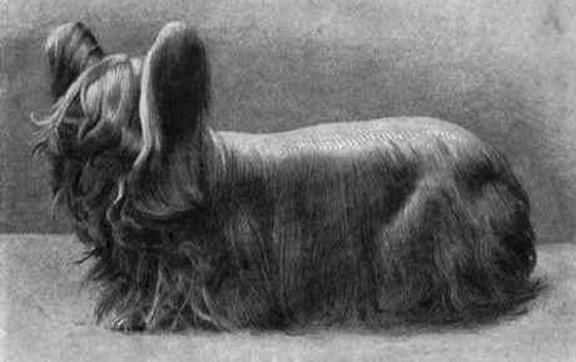 Paisley terrier  tas bija... Autors: Raziels Izmirušas suņu šķirnes