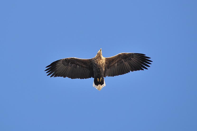 nbsp nbspJūras ērgli var... Autors: Mao Meow Jūras Ērglis –Latvijā lielākais savvaļas plēsīgais putns.