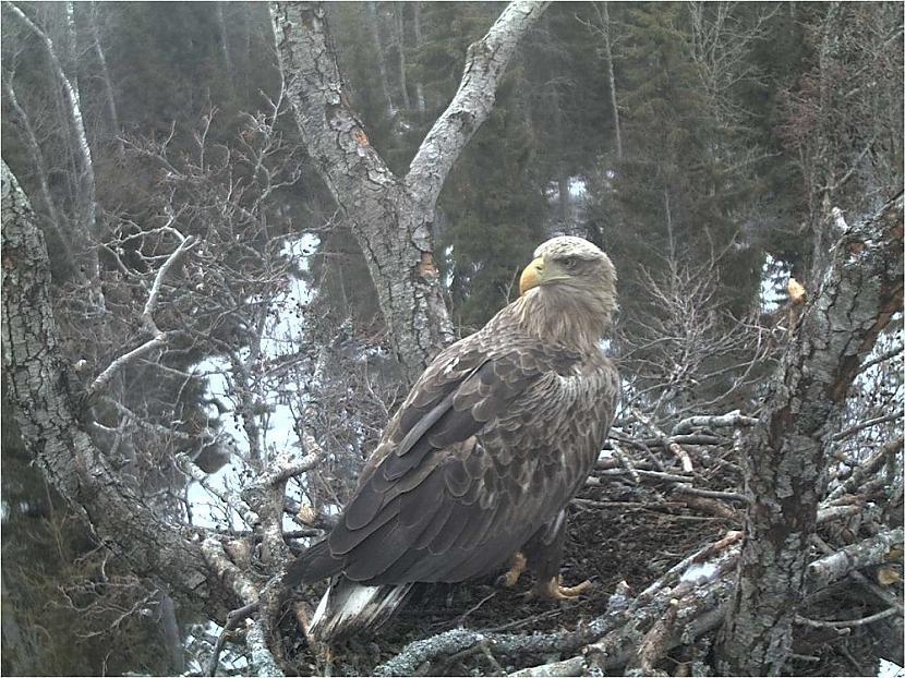 nbsp nbspLigzdo vecos mežos... Autors: Mao Meow Jūras Ērglis –Latvijā lielākais savvaļas plēsīgais putns.