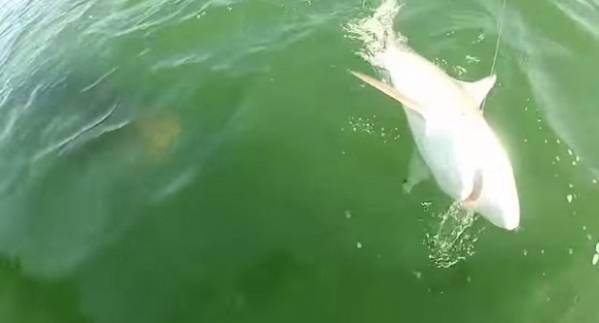 Autors: Fosilija Gigantisks asaris aprij haizivi