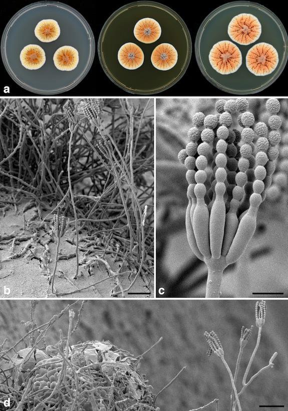 Orange Penicillium nevarēju... Autors: Sanija Dāldere Dažas jaunatklātas sugas 2014