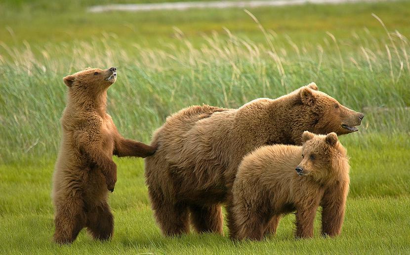 Savvaļā lāči dzīvo apmēram... Autors: Kapteinis Cerība Interesanti Fakti Par LĀČIEM.