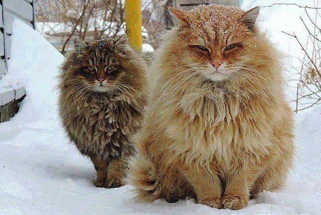 Garpalvainie kaķi no... Autors: Lords Lanselots Neko sev mincīši!!