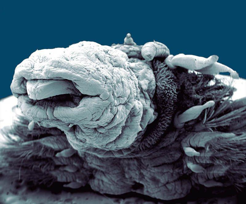 Tārps hydrothermal worm Autors: droop Attēli ar elektronmikroskopu