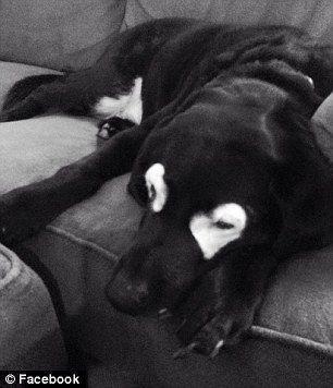 13 gadus vecaisnbsplabradors... Autors: zeminem Pandusuns: suns ar retu ādas slimību, kas liek līdzināties pandai.