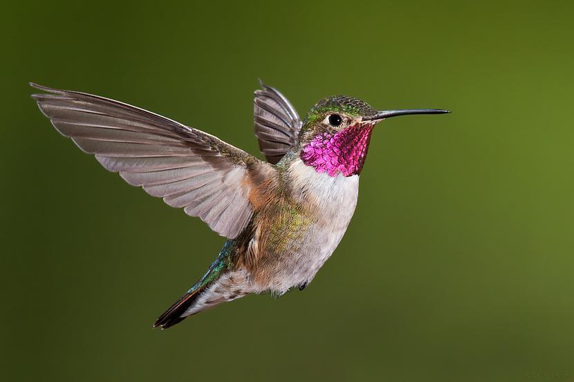 Kolibri putniņscaron sver... Autors: Lolipups 20 dažādi faktiņi 2