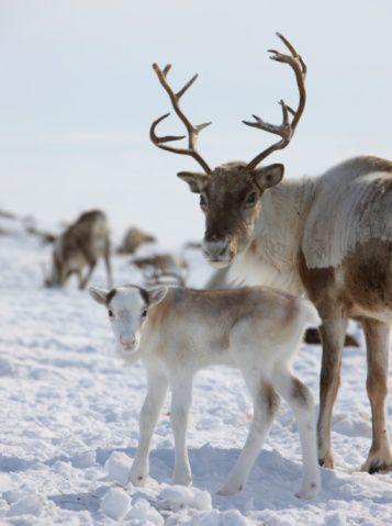 Visus ziemeļbriežu vārdi... Autors:  Kaķītis  Fakti  Par Ziemassvētkiem