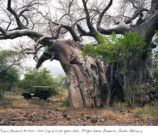 Baobabs 2000 gadi Krugera... Autors: Fosilija Neparasti augi pasaulē