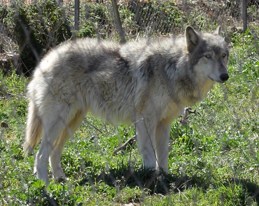 Vairākums dabā sastopamo... Autors: Kapteinis Cerība Nelieli šokējoši fakti par vilkiem