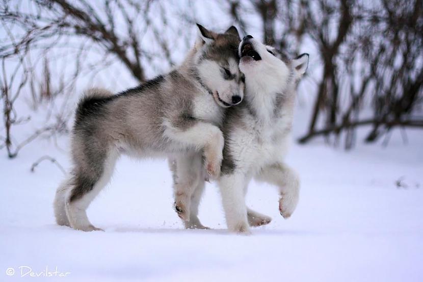 Vilki kuri ir dzimuscaroni un... Autors: Kapteinis Cerība Nelieli šokējoši fakti par vilkiem