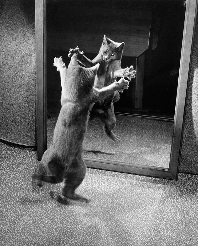 Kaķēns uzbrūk pats savam... Autors: me guusta 16 agrāk nepublicēti foto no National Geographic arhīviem,kas aizraus elpu!