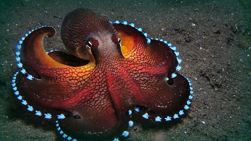 Astoņkājiem ir trīs... Autors: Black Lagoon 10 Fakti Par Dzīvniekiem
