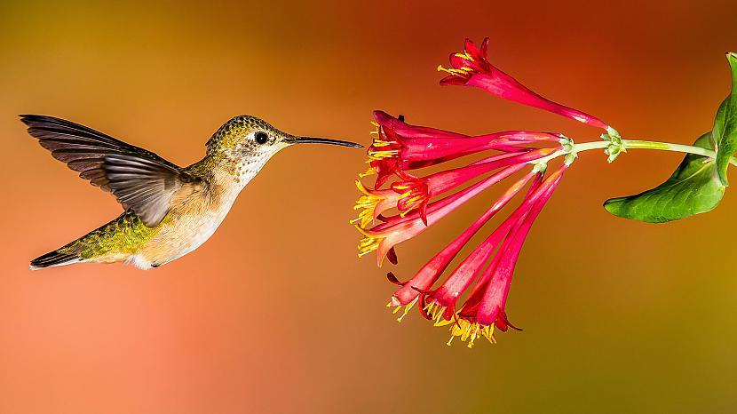 Kolibri spēj lidot... Autors: Black Lagoon 10 Fakti Par Dzīvniekiem