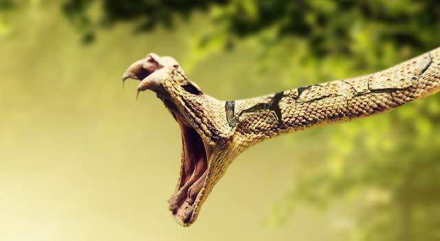 Bailes no čūskām ir viena no... Autors: Kapteinis Cerība Interesanti fakti par ČŪSKĀM