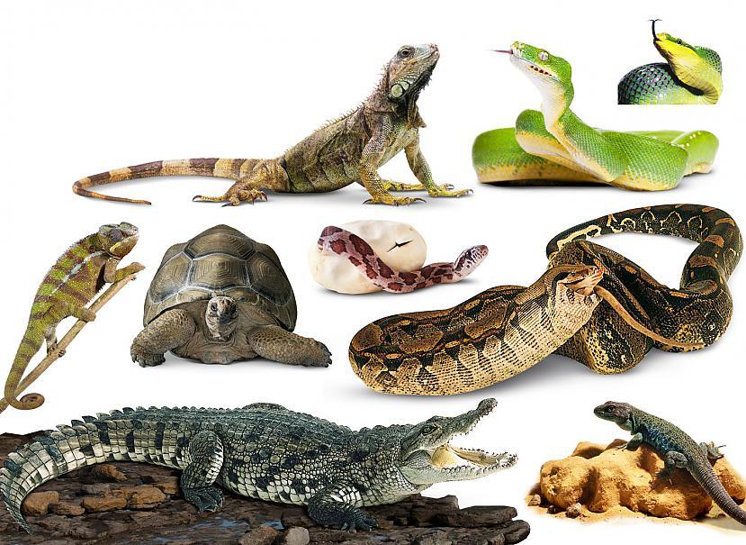 Par čūskas pēctečiem no kuriem... Autors: Kapteinis Cerība Interesanti fakti par ČŪSKĀM