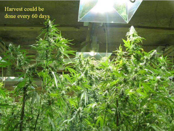 Viņi varēja novākt 45kg savā... Autors: Fosilija Marihuānas audzētava lauku mājā ŠOKS! Policija atklāj ko neiedomājamu!