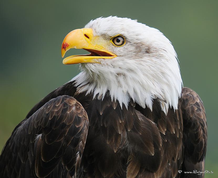 ASV nacionālais putns ir... Autors: chupachabra Valstu nacionālie putni