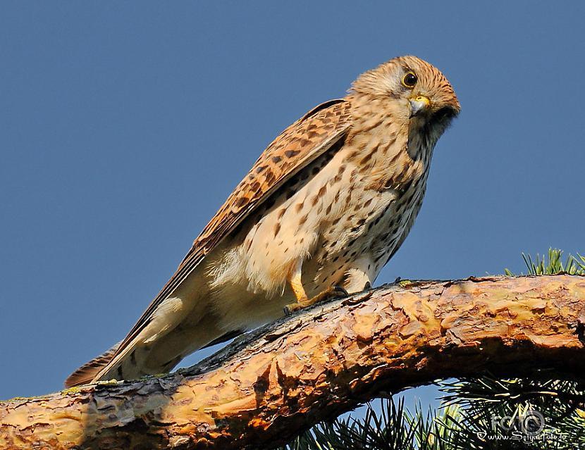Beļģijas nacionālais putns ir... Autors: chupachabra Valstu nacionālie putni